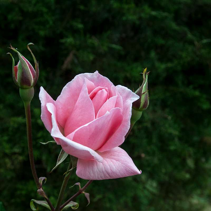 A Rose at Oak Ray Summer Hill Breeze in Nuwara Eliya