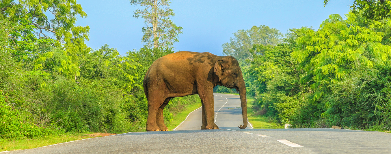 Elephant at Kataragama Buttala Road
